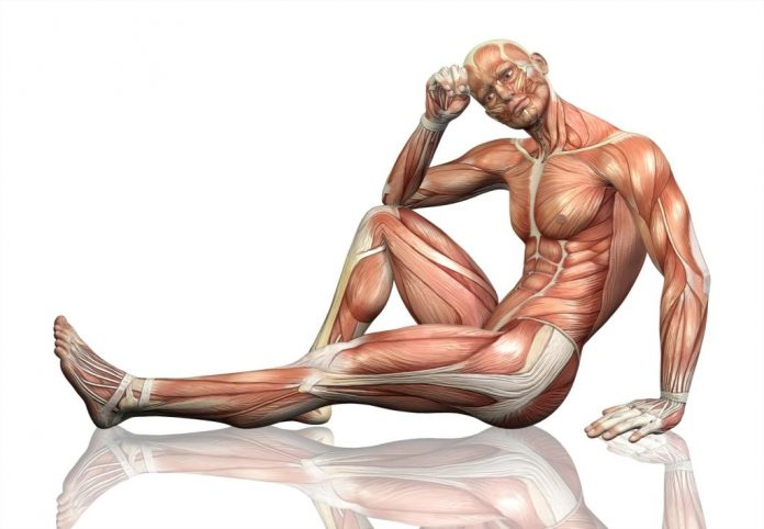 mięśnie budowa sylwetki zdrowej